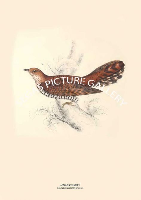 Fine art print of the LITTLE CUCKOO - Cuculus Himalayanus by John Gould (1831) reproduced by Segas Picture Gallery.